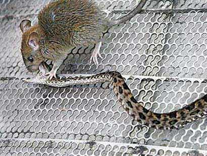 mousesnake.jpg