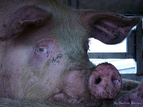 sad-pig
